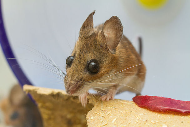 1280px-Captive-White-Footed-Mouse